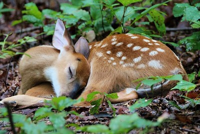 Outdoor Alabama 2020, Watchable Wildlife-Third Place-Carolyn Cavender Alexander, Fawn at Monte Sano State Park